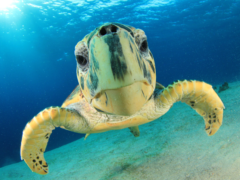 Animal of the month – Hawksbill Turtle – Eco the Elephant